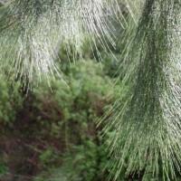 pino australiano2