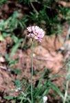 Flora Ajo de bruja 2