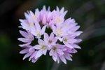 Flora Ajo de bruja 3