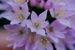 Flora Ajo de bruja 4