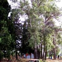 ARBOLES MONUMENTALES CHOPO BLANCO DE LA CASA DE RECH