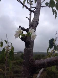 cerezo flor