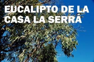 EUCALIPTO  DE  LA  CASA  LA  SERRÁ