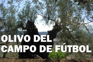 OLIVO DEL CAMPO DE FÚTBOL