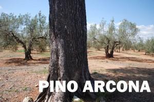 PINO ARCONA