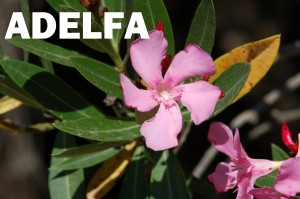 adelfa4
