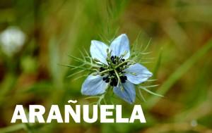 arañuela4