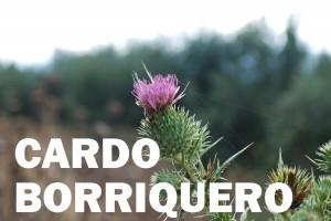 cardo borriquero11