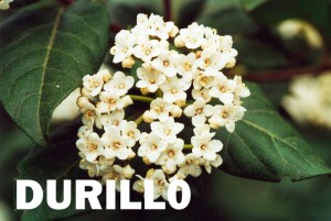 durillo1