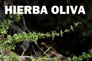 hierba oliva9