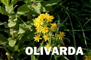 olivarda2