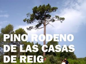 pino rodeno de las casas de reig