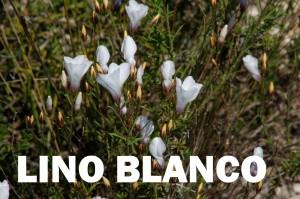 lino blanco10