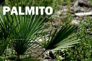 palmito6