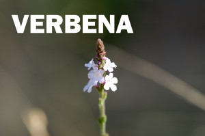 verbena12