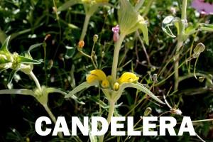 candelera11