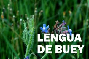 lengua de buey1