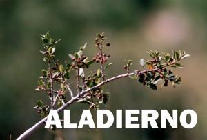 aladierno2
