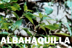 albahaquilla1