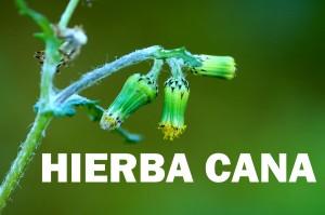hierba cana10