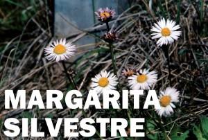 margarita silvestre1