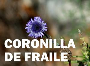 coronilla de fraile3
