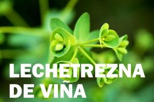lechetrezna de viña11
