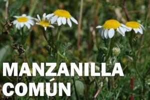 manzanilla común24
