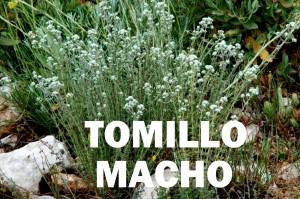 tomillo macho3