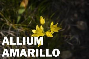 allium-flor-amarilla