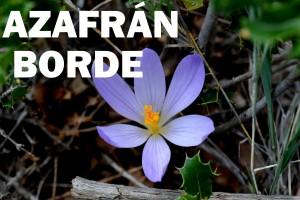 azafran-borde-flor-azul