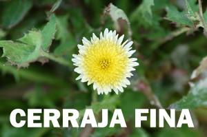cerraja-fina-flor-amarilla