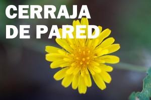 cerraja-pared-flor-amarilla