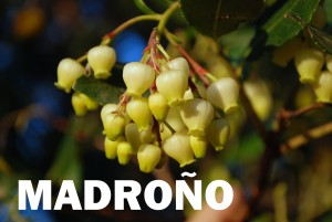 madrono-flor-blanca