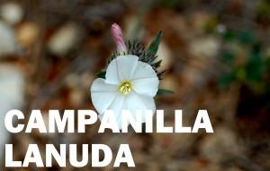 campanilla-lanuda-flor-color-blanca