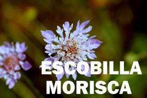 escobilla-morisca-flor-color-rojo