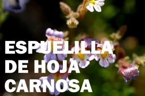espuelilla-flor-color-rojo