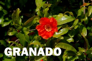 granado-flor-color-rojo
