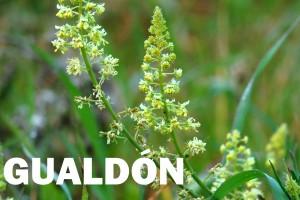 gualdon-flor-color-amarilla