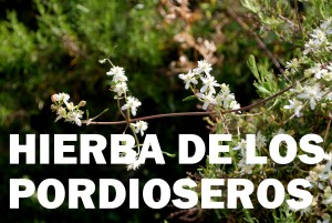 hierba-de-los-pordioseros-flor-color-blanca