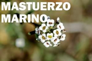mastuerzo-marino-flor-color-blanca
