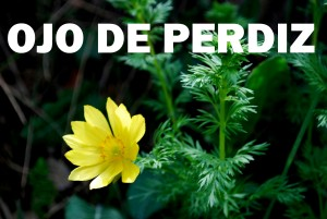 ojo-de-perdiz-flor-amarilla