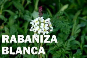 rabaniza-blanca-flor-color-blanca