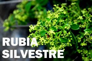 rubia-peregrina-flor-color-blanca