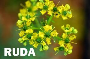 ruda-flor-color-amarillo