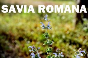 salvia-romana-flor-color-rojo