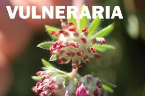 vulneraria-flor-color-rojo