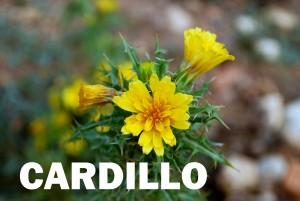cardillo-flor-color-amarillo