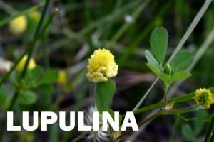 lupulina-flor-color-amarillo
