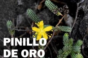 pinillo-de-oro-flor-color-amarillo